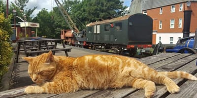 Alfie the ginger station cat sleep in station