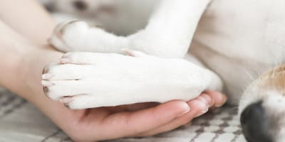 White Jack Russell dog's front paws in owner's hands