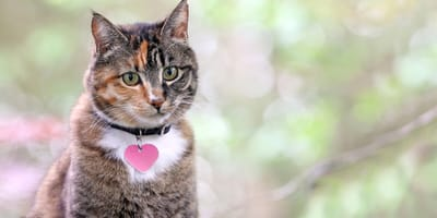 Grey tabby cat with a heart shaped collar