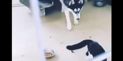 Husky broni  miski przed kotem