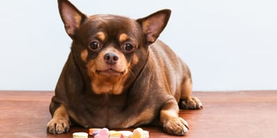Obese dog in front of treats