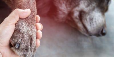 proprietario mantiene la zampa al suo cane prima dell'eutanasia