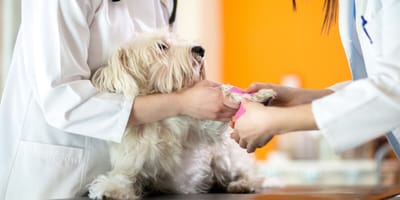 West white highland terrier at the vet