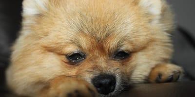 Il primo cane positivo al Coronavirus è morto ad Hong Kong