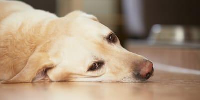 Traurige Fellnasen: Ist mein Hund depressiv?