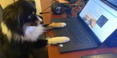 mini australian shepherd working on computer