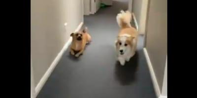 Pies pariodiuje psa rasy corgi idąc na ugiętych łapach