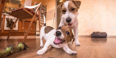 Olfatear, masticar y pensar: juegos para entretener a tu perro durante la cuarentena