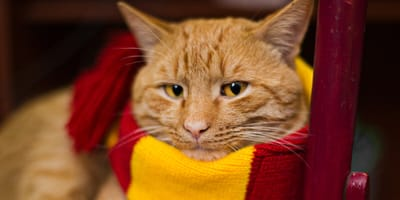 Ginger cat wearing a Harry Potter scarf