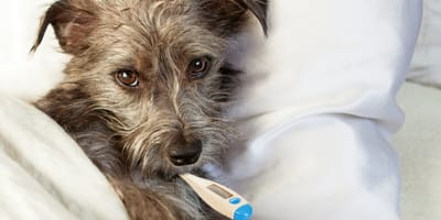 fiebre en perros sintomas