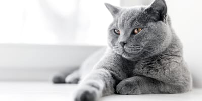 20 great cat name ideas for your grey cat or kitten
