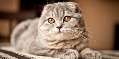 gatto-Scottish-Fold-con-osteocondrodisplasia