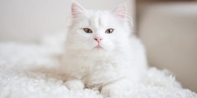 <p>Cat name ideas for your white cat or kitten</p>