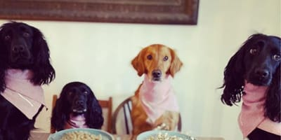 spaniels and retriever sitting at dinner table