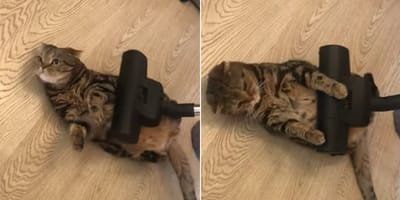 Gato disfruta con el masaje de la aspiradora mientras el perro sufre al verlo