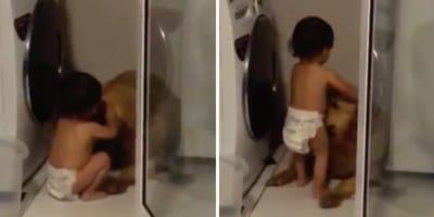 Małe dziecko pociesza golden retrievera