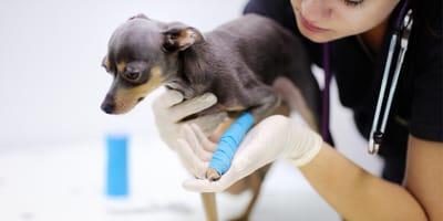 Złamana łapa u psa — objawy, leczenie, koszty