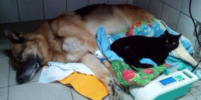Lucifer the disabled cat lies with a German Shepherd dog