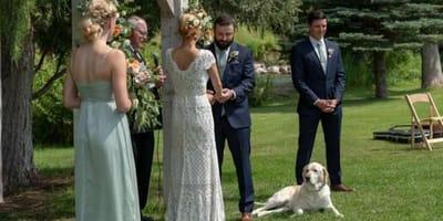 un-labrador-ad-un-matrimonio