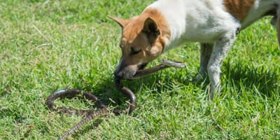 Dog holding snake in mouth