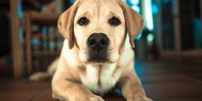 Labrador dog close up shivering