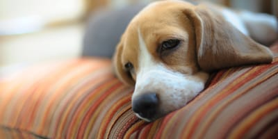 Beagle looking tired and lethargic