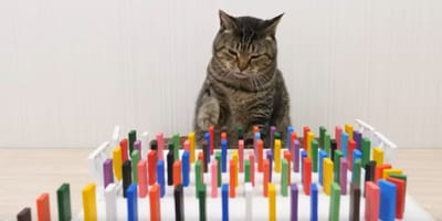 Gatto-e-domino-colorati