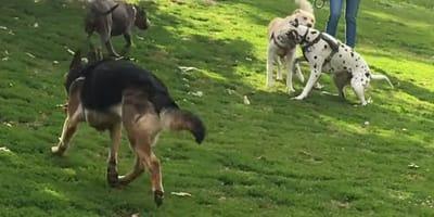 Owczarek niemiecki daje innym psom w parku lekcję savoir-vivre-u!
