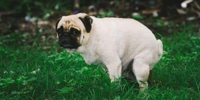 Pug pooping in garden