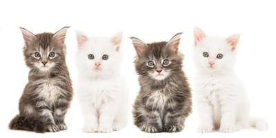 Najpopularniejsze rasy kotów w Polsce - które rasy kochają Polacy?
