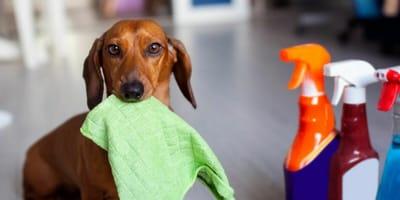 Cosa fare se il cane o il gatto hanno un'intossicazione da candeggina?