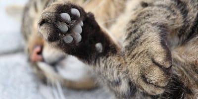 Scopri i segreti della zampa del gatto!