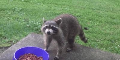 Valiente cachorro defiende su comida frente a un mapache ladrón (Vídeo)