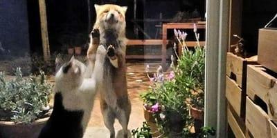 <p>Un gatto e una volpe hanno fatto amicizia attraverso un vetro.</p>