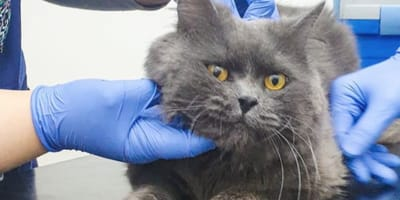 grey cat being checked by vets