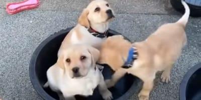 labrador puppies in black bucket