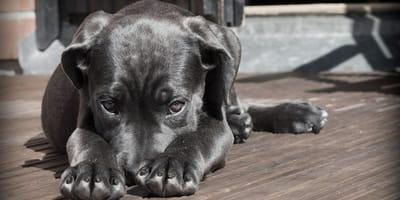cane steso con balanite