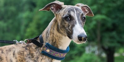 Why do Greyhounds and Whippets shiver so much?
