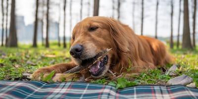 cane rosicchia ramo su prato