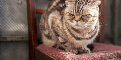 gato enfadado