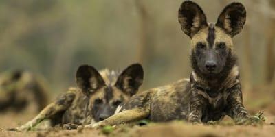due-tipi-di-cane-africano