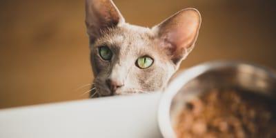 comida humeda para gatos