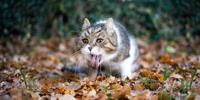 Erbrechen bei der Katze: Diese Hausmittel helfen