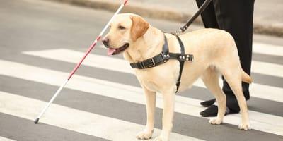 adoptar perro guia jubilado