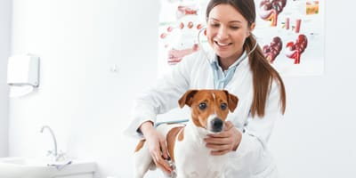 Veterinary checking a Jack Russell dog