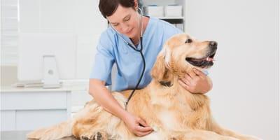 Golden retriever at the vet