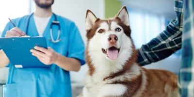 Husky dog at the vet