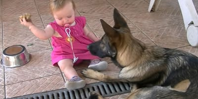 baby in pink dress sitting next to german shepherd