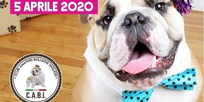 Instagram post Bulldog Inglese