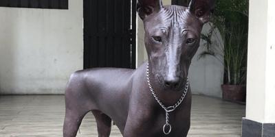 perro xoloitzcuintle
